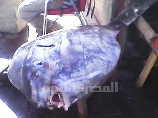 سمكة نادرة